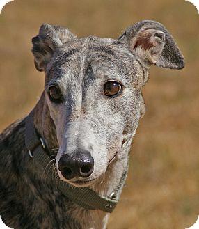 Greyhound Dog for adoption in Portland, Oregon - Anchovy