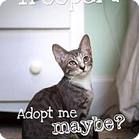 Domestic Shorthair Kitten for adoption in Jacksonville, Florida - Trooper