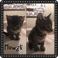 Adopt A Pet :: Mowgli - Denver, CO