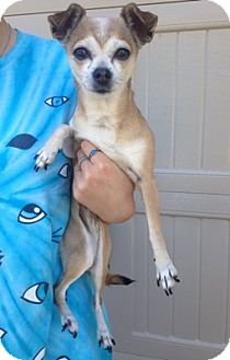 Chihuahua Mix Dog for adoption in Temecula, California - Tinker