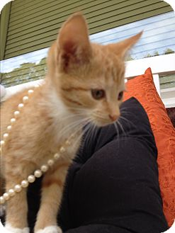 Domestic Shorthair Kitten for adoption in Statesville, North Carolina - Goldie Hawn