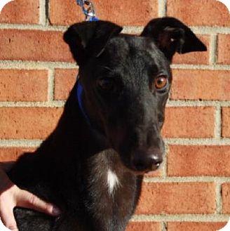 Greyhound Mix Dog for adoption in Aurora, Indiana - Nerd