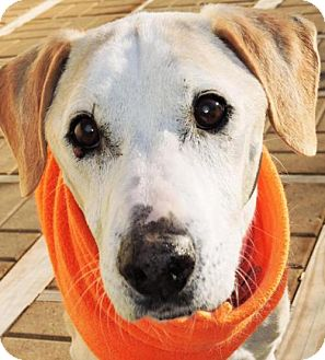 Labrador Retriever/Beagle Mix Dog for adoption in Nashville, Indiana - Saul (Foster) - NO FEE