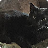 American Shorthair Cat for adoption in Eden Prairie, Minnesota - Oreo and Blackjack