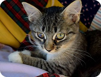 Domestic Shorthair Kitten for adoption in Summerville, South Carolina - Ciel