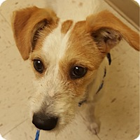 Jack Russell Terrier Puppy for adoption in San Antonio, Texas - Dasher in San Antonio