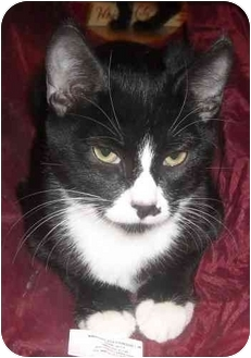 Domestic Shorthair Cat for adoption in Mesa, Arizona - Kilo