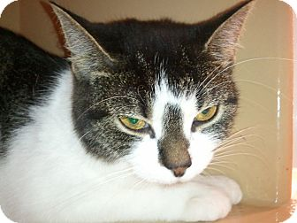 Domestic Shorthair Cat for adoption in North Wilkesboro, North Carolina - BeBe