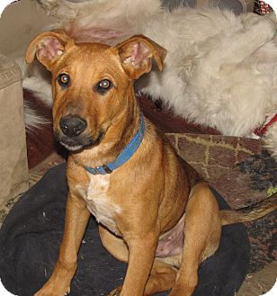 Shepherd (Unknown Type)/Labrador Retriever Mix Dog for adoption in Burbank, California - Justin - Great with dogs!