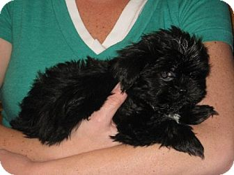 Shih Tzu Puppy for adoption in Greenville, Rhode Island - Fei Yen