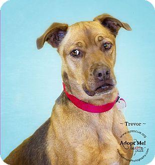 Rhodesian Ridgeback Mix Dog for adoption in Phoenix, Arizona - Trevor