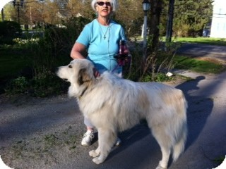 Great Pyrenees Dog for adoption in Lee, Massachusetts - Princeton