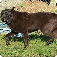 Chow Chow/Terrier (Unknown Type, Medium) Mix Dog for adoption in Key Biscayne, Florida - Blue