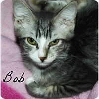 Domestic Shorthair Cat for adoption in McKinney, Texas - Bob