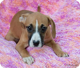 Boxer Beagle Mix Puppy For Adoption In Indianapolis Indiana Marsha