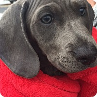 Adopt A Pet :: Grace - Alpharetta, GA
