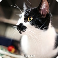 Adopt A Pet :: Choo Choo *Petsmart* - Appleton, WI