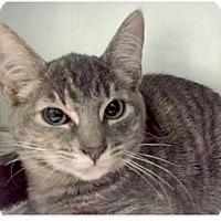 Adopt A Pet :: Polly - Springdale, AR