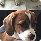 Adopt A Pet :: Helen's pup Faith