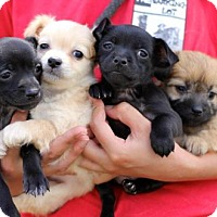 Adopt A Pet :: Food Network Puppies - Females - San Diego, CA