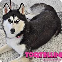 Adopt A Pet :: Tortellini - Carrollton, TX