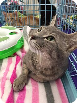 Domestic Mediumhair Cat for adoption in Mansfield, Texas - Dori