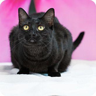 Domestic Shorthair Cat for adoption in Houston, Texas - Elizabeth