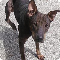 Adopt A Pet :: Dee Dee - Muskegon, MI