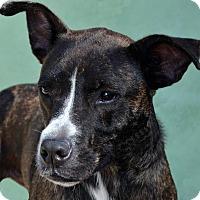 Adopt A Pet :: Stardust - Terre Haute, IN