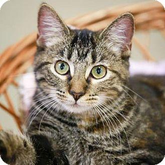 Domestic Shorthair Kitten for adoption in Kettering, Ohio - La Boheme