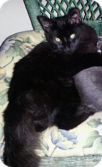 Domestic Longhair Kitten for adoption in Barrington, New Jersey - Bassel