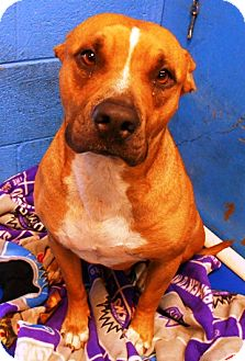 Bull Terrier Mix Dog for adoption in Redding, California - Claudia