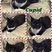 Adopt A Pet :: Cupid - Ravenna, TX