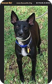 Terrier (Unknown Type, Medium) Mix Puppy for adoption in hollywood, Florida - Freddie