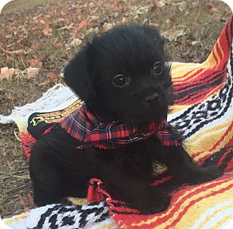 Pekingese/Poodle (Miniature) Mix Puppy for adoption in Anderson, South Carolina - Jose' (pending adoption)