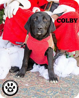 Labrador Retriever Mix Dog for adoption in Kimberton, Pennsylvania - Colby