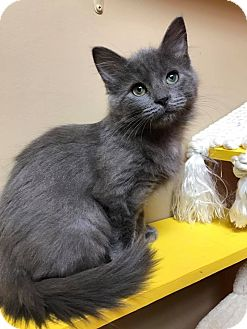 Domestic Mediumhair Kitten for adoption in Maryville, Missouri - Lane
