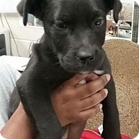 Adopt A Pet :: Inky - Chester Springs, PA