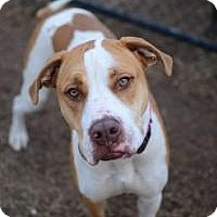 Adopt A Pet :: Delacy - Chattanooga, TN