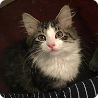 Adopt A Pet :: Baez - Chicago, IL