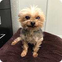 Adopt A Pet :: Yoda - N. Babylon, NY