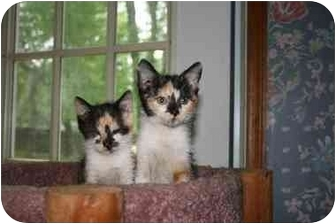 Calico Kitten for adoption in Cincinnati, Ohio - Calicos: 7 weeks.
