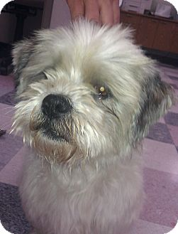 quee adopted dog santa ana ca cairn terriershih