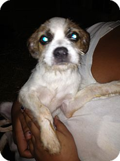 Shih Tzu/Rat Terrier Mix Puppy for adoption in Alamosa, Colorado - Bonnie