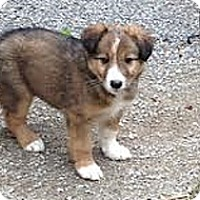 Adopt A Pet :: Puppies 2 Males/2Females - Hamilton, ON