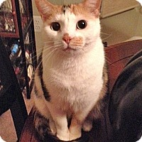 Calico Cat for adoption in Ruther Glen, Virginia - Bella