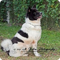 Akita Mix Dog for adoption in Jacksonville, Florida - Katy