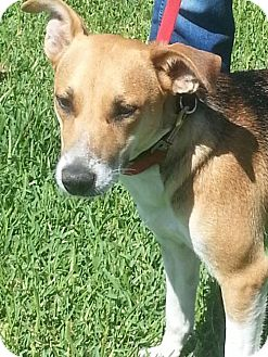 Beagle/Terrier (Unknown Type, Medium) Mix Dog for adoption in Liverpool, Texas - BONNIE