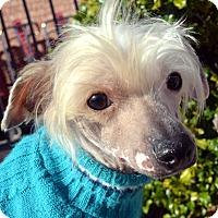 Adopt A Pet :: Donut - Bridgeton, MO
