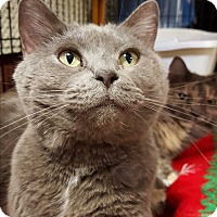 Chartreux Cat for adoption in Lexington, Kentucky - Chloe